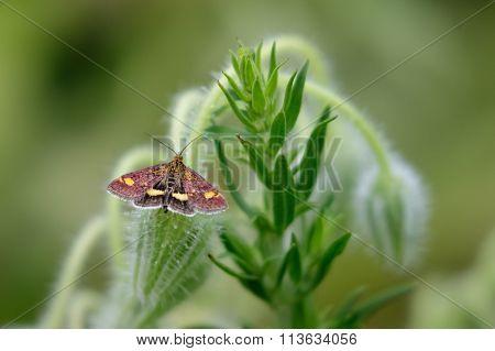 Mint Moth (pyrausta Aurata) On Borage