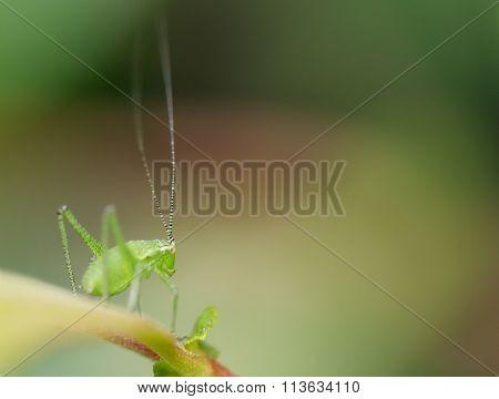 Speckled Bush-cricket Nymph (Leptophyes punctatissima)