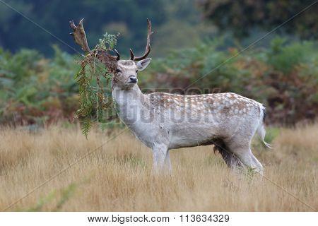 Fallow Deer Buck (dama Dama)