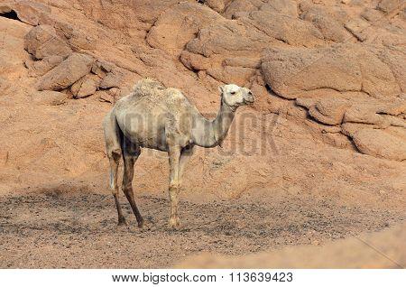 One Camel In A Desert In Egypt