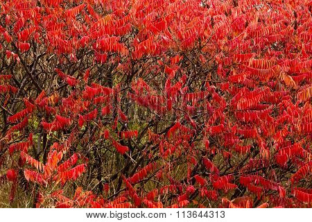 sumac leaves turned red in autumn season
