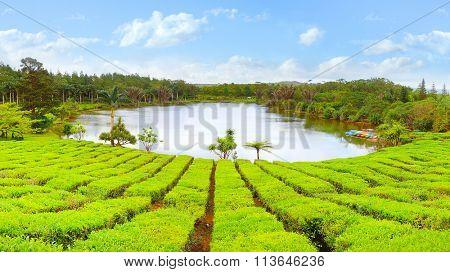 Lake in biggest tea plantations Bois Cheri on Mauritius Island. Tropical agriculture.