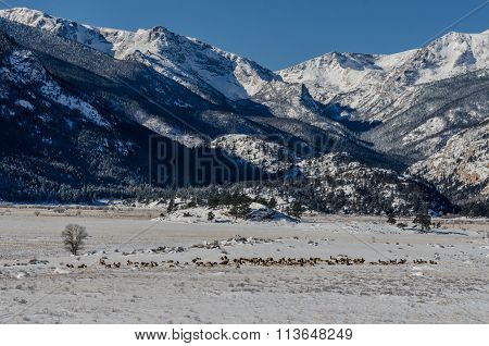 Herd Of Elk In Snowy Valley Of Rocky Mountain National Park