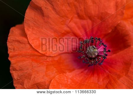 poppy flower petais