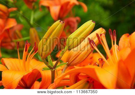 Burgeons Of Orange Lily Flowers