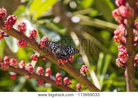 Australian blue spotted butterfly