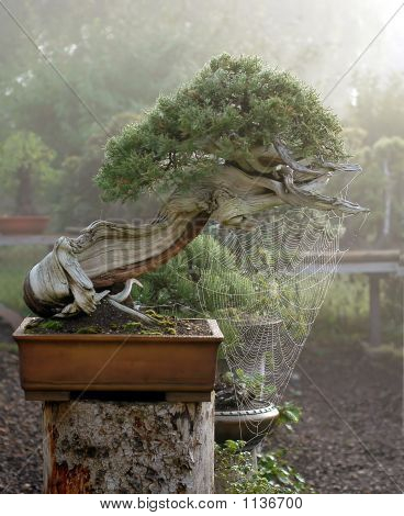 Juniper Bonsai With Spider Web