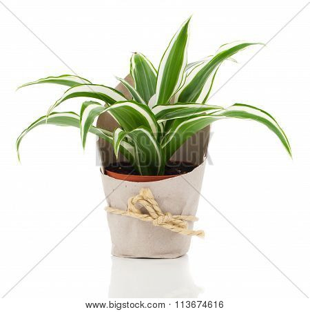 Dracaena Fragrans (cornstalk Dracaena) In Paper Packaging, Isolated On A White Background