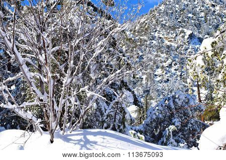 Forest blanketed in fresh snow taken at Mt Baldy, CA