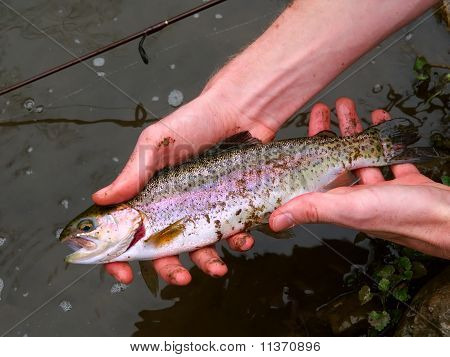 Rainbow Trout (Oncorhynchus mykiss)