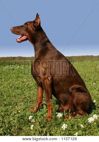 Sitting Brown Doberman