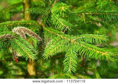 Fir Tree Plant