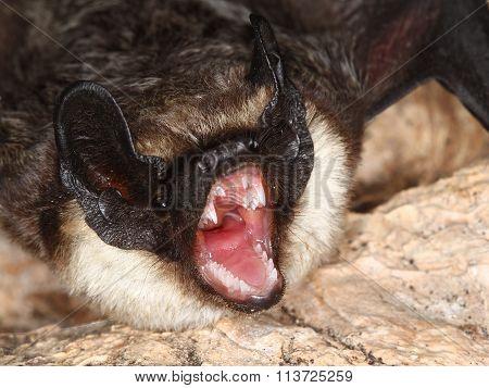 Part Coloured Bat Shows  Teeth
