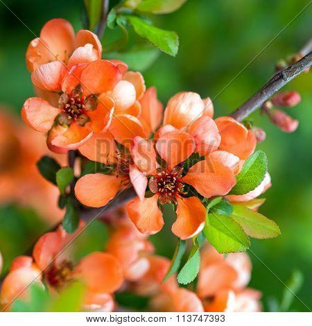 Spring Blossoms, Pink Flowers Of Almonds. Amygdalus Shrub