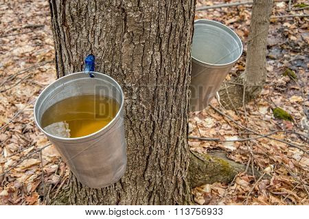 Pail Used To Collect Sap Of Maple Trees To Produce Maple Syrup In Quebec.