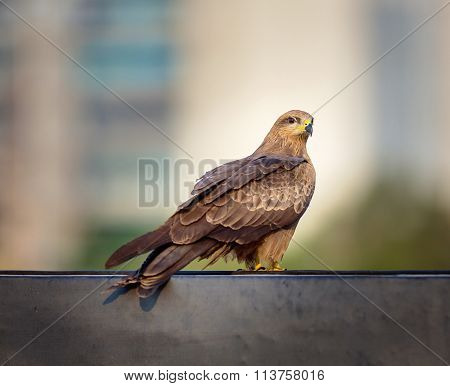 Black Kite, on the rooftops Bangalore India.