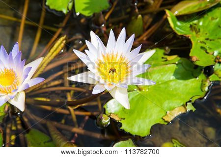 Lotus in the basin among the fish. poster
