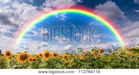 Big Field Sunflowers And Rainbow
