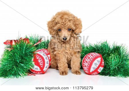 Christmas Toy Poodle Puppy