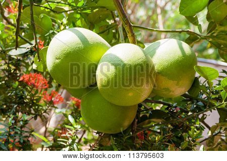 Pomelo (citrus Maxima) On Tree. Natural Background With Tasty Fruits. Vietnam.