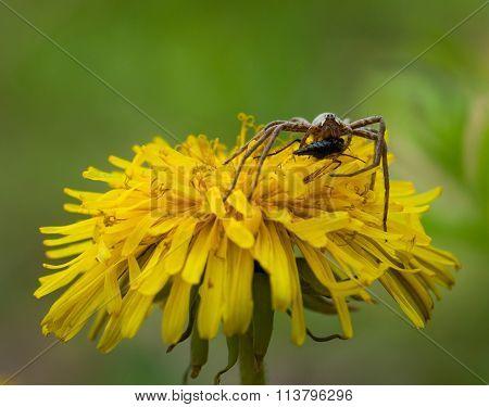 Portrait Of Spider With Pray