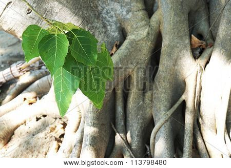 Closeup of Sacred Fig Tree or Pipal Tree or Bohhi Tree or Bo Tree or Peepul with sunlight
