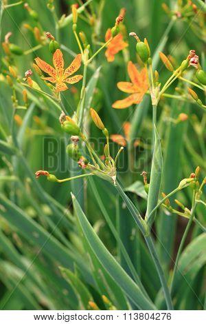 Blackbery Lily Flower In Garden