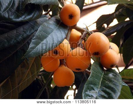 Japanese loquat fruit on the tree