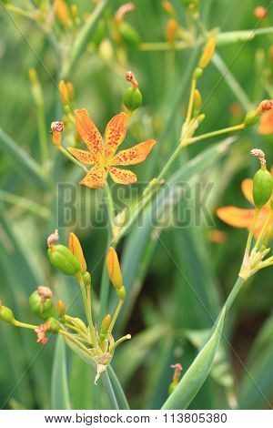 Blackberrry Lily Flower In Garden