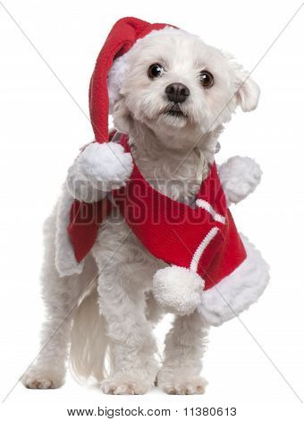 Maltese wearing Santa outfit 3 and a half years old standing in front of white background poster