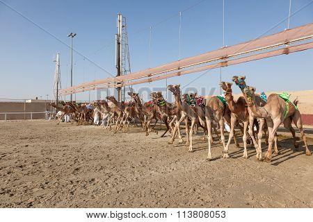 Camel Race In Doha, Qatar