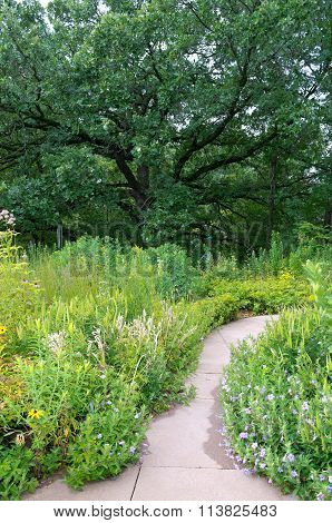 front yard landscape with mature burr oak tree or quercus macrocarpa and native plant garden with walkway in summer poster
