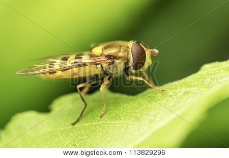 Yellow Fly On Green Leaf.