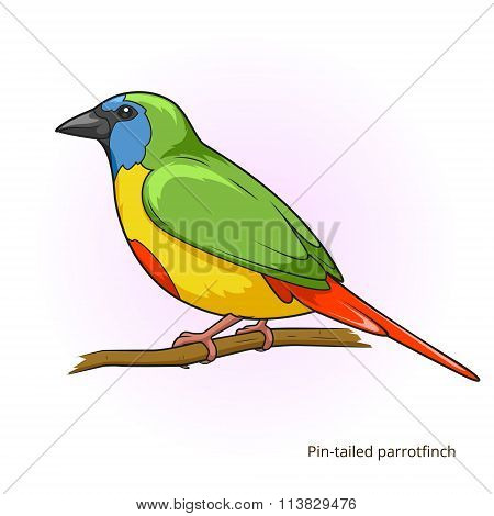 Pin tail parrotfinch bird educational game vector