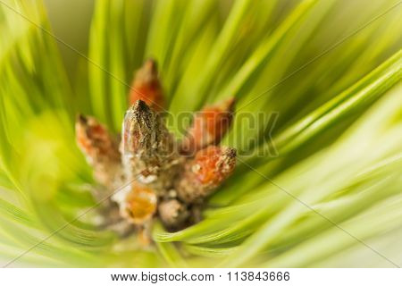 Resinous pine young buds on top of branches among green pine needles poster