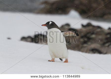 Gentoo Penguin Walking , Neko Harbor, Antarctica