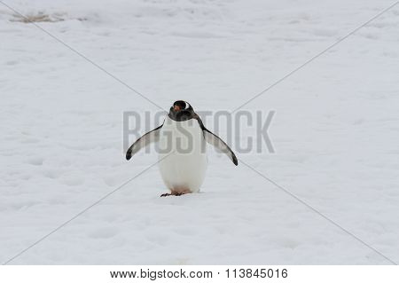 Gentoo Penguin Walking On Snow