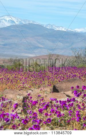 Flowering Desert (spanish: Desierto Florido) In The Chilean Atacama. The Event Is Related To The El