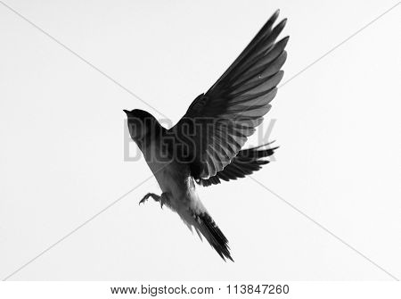 Swallow - Silhouette