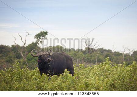 Buffalo In The African Savannah