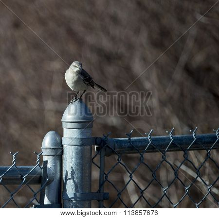Northern Mockingbird Perched On Gate