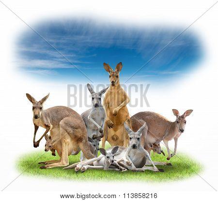 Group Of Kangaroo