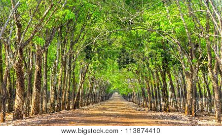 Path rubber forests so beautiful