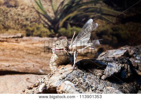Bearded Dragon Lizard Eating Grasshopper