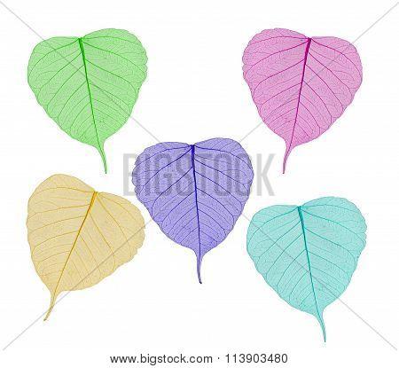 Colorful Sceleton Leaves Bodhi , Macro, Isolated On White