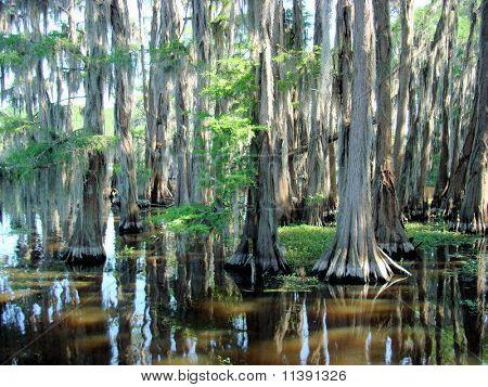 Cypress Trees at Caddo Lake,Texas