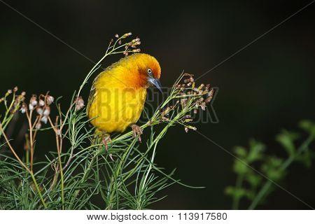 Male Cape weaver (Ploceus capensis) perched on a plant, South Africa