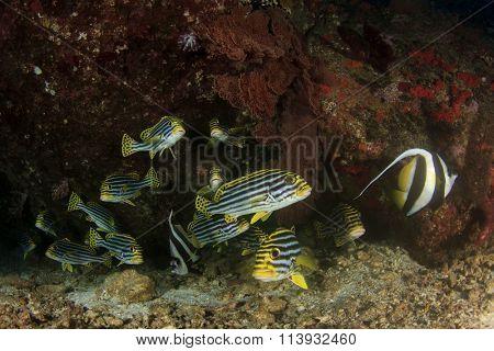 Oriental Sweetlips fish coral reef