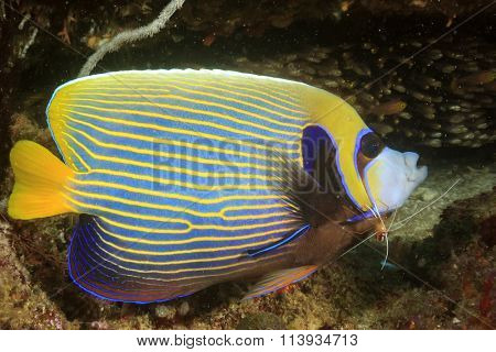 Emperor Angelfish at Cleaning Station with shrimp and cleaner wrasse