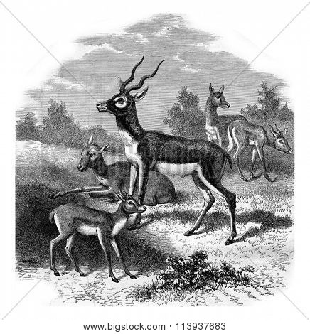 The antelope of India, or to bezoar antelope, vintage engraved illustration. Magasin Pittoresque 1880.